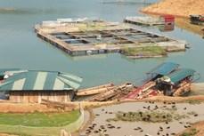 Chiềng Bằng nuôi cá lồng trên lòng hồ thủy điện Sơn La