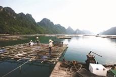 Nghề nuôi nhuyễn thể ở huyện đảo Vân Đồn