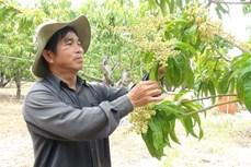 Thu lãi tiền tỷ nhờ ứng dụng kỹ thuật cao vào trồng xoài