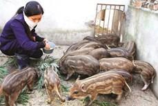 Kinh nghiệm nuôi lợn rừng lai