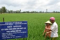 Khó khăn tiêu thụ lúa gạo ở đồng bằng sông Cửu Long