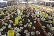 Mô hình trang trại khép kín mang lại hiệu quả cao