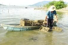Nghề nuôi hàu ở Khánh Hòa