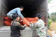 Bắc Kạn vào vụ thu hoạch khoai tây