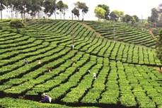Lai Châu chú trọng phát triển cây chè