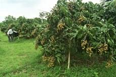 Đồng Tháp: Thu lãi cao nhờ trồng nhãn cho thu hoạch trái vụ