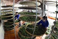 Phát triển thương hiệu chè Phìn Hồ (Hà Giang)