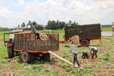 Tây Ninh: Nông dân lỗ nặng do trồng sắn dưới ruộng lúa