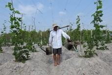 Nông dân thoát nghèo nhờ trồng sắn dây ở Tây Ninh