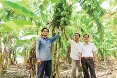 Trồng chuối xiêm thay lúa cho hiệu quả kinh tế cao