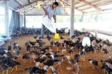 Hiệu quả chăn nuôi gà an toàn trên đệm lót sinh học ở Phú Yên
