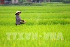 Phát triển giá trị thương hiệu lúa đặc sản Chiêm Hương