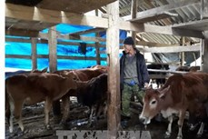 Cách nuôi trâu bò mùa rét