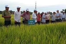 Trà Vinh lưu ý nông dân nên sử dụng giống lúa chịu mặn để tránh thiệt hại