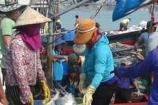 Ngư dân Quảng Trị đánh bắt được nhiều cá giá trị lớn
