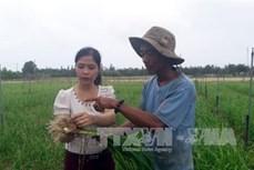 Hiệu quả từ mô hình trồng tỏi Lý Sơn trên đất cát ở Bình Sơn