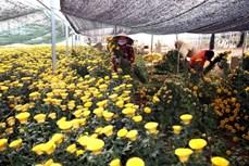 Làng hoa Thái Phiên - Đà Lạt