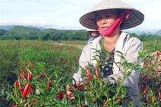 Kỹ thuật trồng ớt
