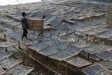Phát triển nghề làm cá cơm ở xã đảo Thổ Châu