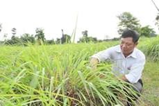 Cây sả góp phần đổi thay vùng đất cằn