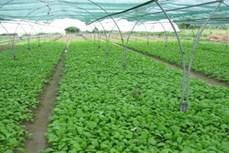 Quy trình trồng rau ăn lá