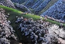 Thung lũng hoa mai tuyệt đẹp ở Tân Cương