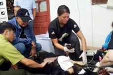 Cứu hộ một cá thể gấu ngựa tại Lai Châu