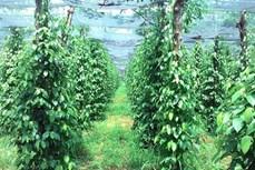 Ông Lâm Ngọc Nhâm thành công với mô hình trồng tiêu theo hướng bền vững