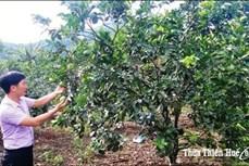 Hơn 70 tỷ đồng phát triển vùng trồng cam và trồng cây dược liệu ở huyện Nam Đông