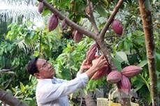 Cách trồng ca-cao mang lại hiệu quả kinh tế cao