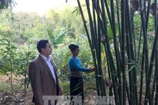 Người dân Quan Sơn giảm nghèo nhờ trồng cây vầu