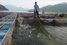 Phát triển nuôi cá lồng ở vùng hồ Hòa Bình