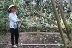 Diện tích trồng cây ăn quả ở Tiền Giang có xu hướng tăng mạnh