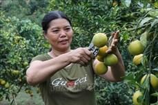 Phát triển cây cam trên vùng đất dốc ở huyện miền núi Phù Yên