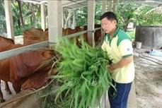 Ông Huỳnh Văn Đẹt cho các hộ nghèo mượn bò giống để phát triển kinh tế gia đình