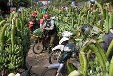 Cây chuối góp phần xóa đói giảm nghèo ở xã Tân Long