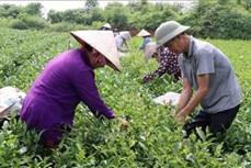 Thái Nguyên phát triển cây chè trên vùng đất ATK Định Hóa
