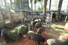 Hà Nội thực hiện các giải pháp ổn định thị trường thịt lợn
