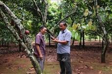 Tiền Giang phát triển bền vững cây ca cao