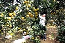 Bưởi Diễn - cây làm giàu của người dân Tuyên Quang
