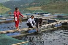 Hiệu quả mô hình nuôi cá lồng vùng lòng hồ thủy điện ở Lai Châu