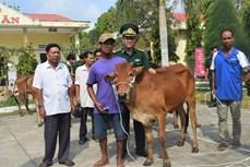 Bộ đội biên phòng hỗ trợ bò giống cho hộ nghèo khu vực biên giới Sóc Trăng