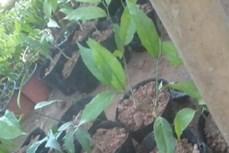 Kỹ thuật gây trồng rau sắng
