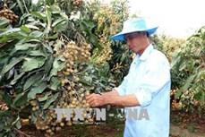 Nông dân Cù Lao Dung có thu nhập cao từ trồng nhãn Ido