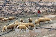 Tìm giải pháp phát triển chăn nuôi gia súc bền vững khu vực Nam Trung Bộ