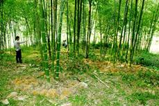 Thanh Hóa phục tráng rừng luồng giúp người dân miền núi giảm nghèo