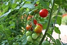 Cách ghép cà chua trên gốc cà tím