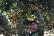 Phát triển cây nhãn theo hướng an toàn để xuất khẩu ở huyện Sông Mã