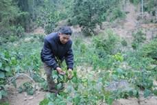 Bảo tồn cây Bò Khai tại Vườn quốc gia Bến En