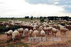 Kỹ thuật nuôi cừu